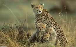 Cute cheetah family wallpaper #4705Open Walls 1179