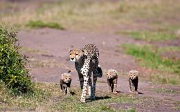 wallpaper cheetah, family, Family, mother free desktop wallpaper 1771