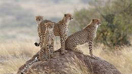 Four cheetah, family, grass Wallpaper | 1920x1080 resolution wallpaper 1599