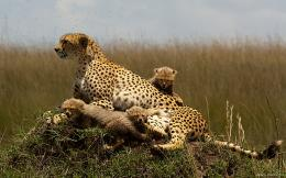 Cheetah Family Wallpaper 455