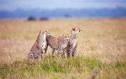 Cheetah Family HD Desktop wallpaper, images and photos 1262