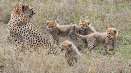 Cheetahs family, cubs, motherhood Wallpaper | 1366x768 resolution 1350
