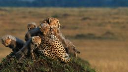 cheetah with her familyAfrica Wallpaper2560x144089607 779