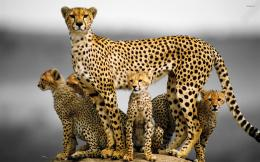 Cheetah family wallpaperAnimal wallpapers#31475 599
