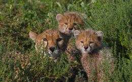 Wallpaper cheetahs, family, mother, children wallpapers cats 410
