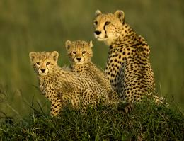 Cheetah Family Free Wallpapers For IphoneCheetah, Cheetah Pictures 1127