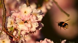 Download Cherry blossoms and bee macro shot wallpaper in Flowers 114