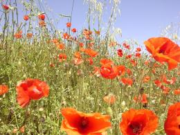 Champ De Ble Coquelicots Jpg Pictures to pin on Pinterest 412