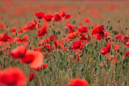 Wallpapers , Images & Photos pour champ coquelicot noir et blanc 1659