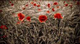 champs de blé et coquelicots rouges wallpaper picture free download 570