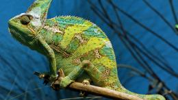 Green Chameleon Hd Wallpaper | Wallpaper List 219