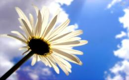White daisy wallpaperFlower wallpapers#20503 838