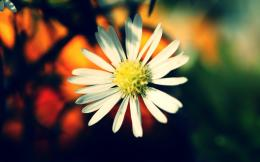 free download white daisy flower wallpaper white daisy flower 359