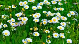 Daisies wallpaperFlower wallpapers#41943 1734