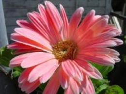 Gerbera Daisies Wallpapers Flowers And Computer Wallpaper 1196