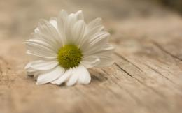 HomeFlowers HD WallpapersWhite Flower, Daisy, Wooden Table 571