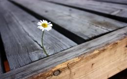 Daisies Daisy Flowers Nature Wood » WallDevilBest free HD desktop 447