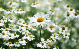 daisy flowers images and wallpapers Download 566