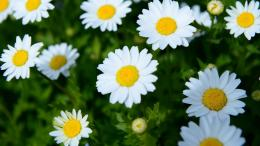 White daisies wallpaper #39786 1127