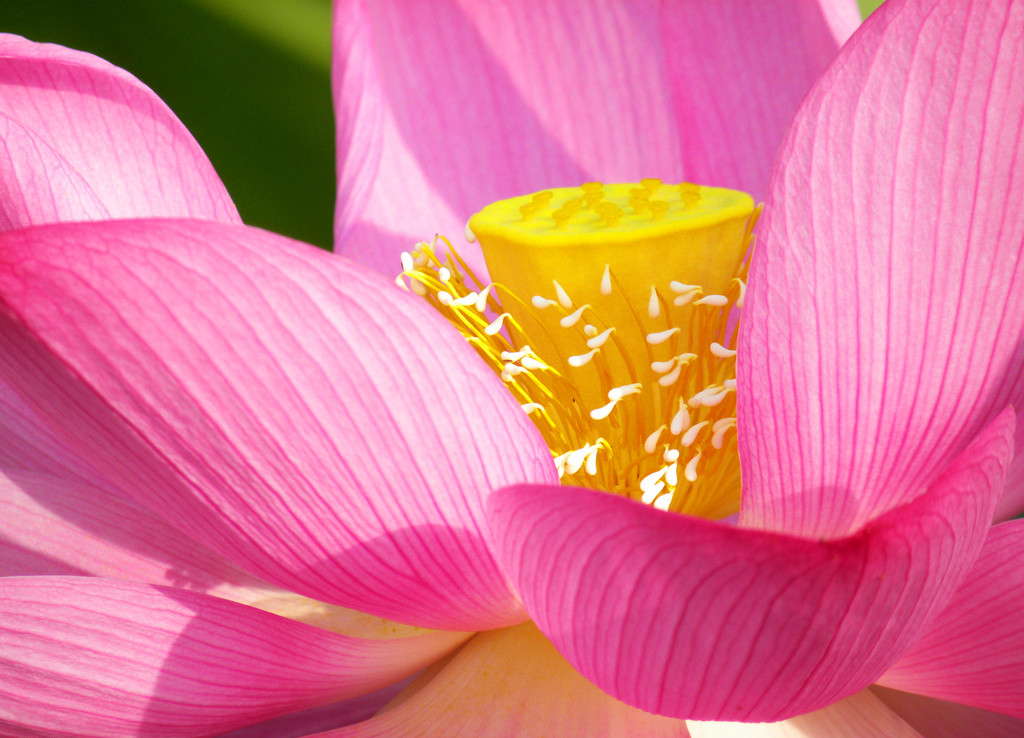 Lotus Flower Pistil Wallpaper 14, Lotus Flower Pictures & images 1020