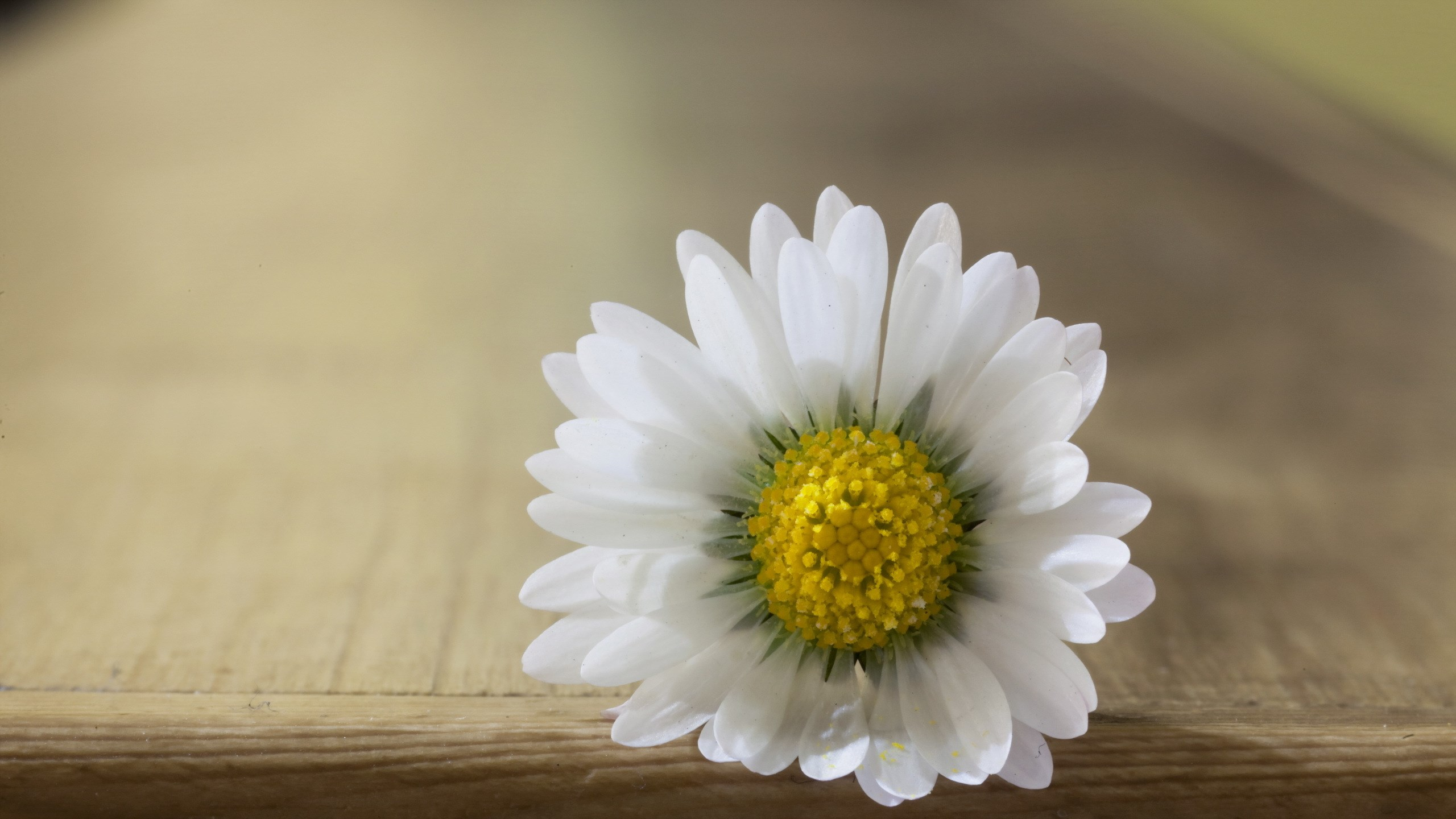 close up, flower, white daisy, petals, macro, pistil, hd wallpaper 1961