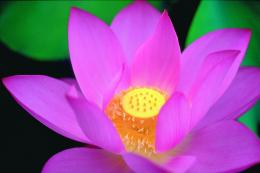 Lotus Flower Pistil Wallpaper 28, Lotus Flower Pictures & images 548