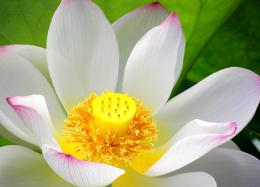 Lotus Flower Pistil Wallpaper 16, Lotus Flower Pictures & images 193