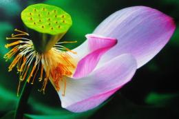 Lotus Flower Pistil Wallpaper 13, Lotus Flower Pictures & images 521