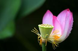 Lotus Flower Pistil Wallpaper 04, Lotus Flower Pictures & images 435
