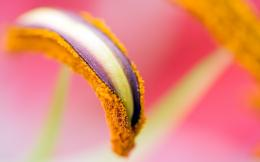 Macro Pistil Flower HD WallpapersNew HD Wallpapers 276