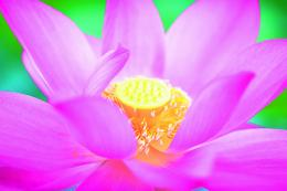 Lotus Flower Pistil Wallpaper 46, Lotus Flower Pictures & images 286