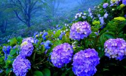 Beautiful Hydrangea Garden Hd Wallpaper | Wallpaper List 389
