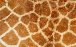 Pics PhotosGiraffe Animals Skin Pattern Background Pictures 3856 564