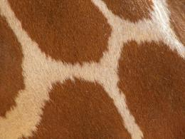 Giraffe Skin All Wallpapers 498
