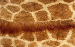 Giraffe skin wallpapers and imageswallpapers, pictures, photos 1925
