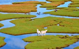 Sheep geese island grass foliage water birds wallpaper | 1920x1200 1387