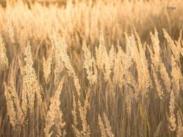 Golden feather grass spikes wallpaper 716