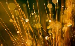 Golden dew drops on the grass wallpaperPhotography wallpapers 1783