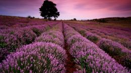 Lavender Desktop Backgrounds Wallpaper, High Definition, High 348