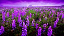 Lavender Desktop Wallpaper Wallpaper, High Definition, High Quality 273