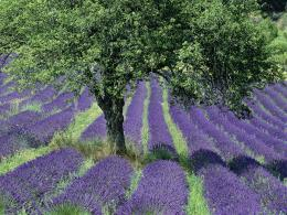 Lavender Wallpaper internet 936