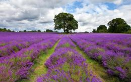 Lavender field Widescreen Wallpaper#10558 115