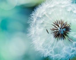 Download Dandelion macro wallpaper in Flowersplants wallpapers with 509