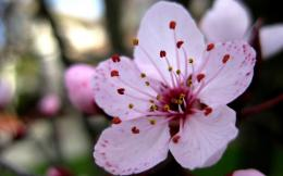 Cherry blossoms flowers pink flowers wallpaper background 520