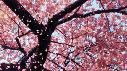Cherry Blossom Wallpaper Desktop Wallpaper | WallpaperLepi 1455