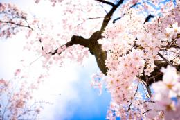 Cherry Blossom Wallpaper #766055 Cherry Blossom Wallpaper #766040 643