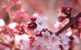 wallpapers: Cherry Flowers Wallpapers 1822