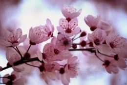 Wallpaper Sea: cherry blossom background 101