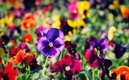 1920x1200 Wallpaper pansies, flowers, bright, colorful, different 242