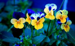 1680 x 1050 Wallpaper, Wiedscreen Wallpaper, HD Wallpaper wp Pansies 1391